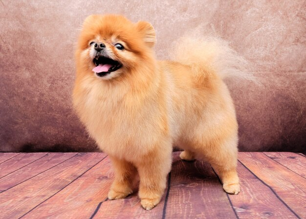 Pomeranian spitz dog após a preparação em um vintage no piso de madeira