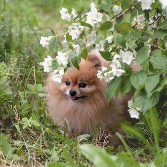 Pomeranian spitz mini urso sentado na grama sob um galho de jasmine.