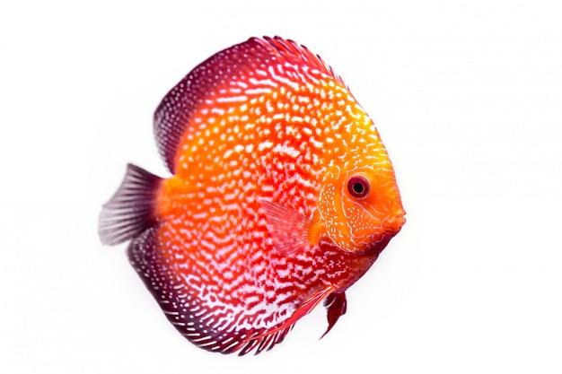 Pompadour ou peixe symphysodon