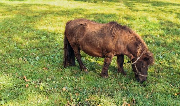 Pônei em miniatura em campo verde, retrato de um cavalo em um prado