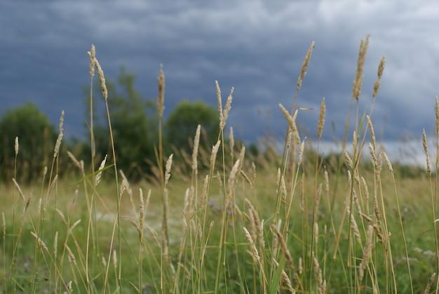 Pontas afiadas e desfocadas de grama em um fundo de campo, árvores e céu tempestuoso