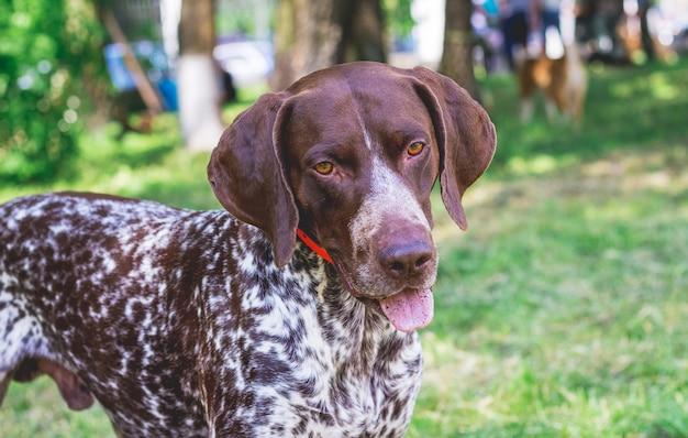 Ponteiro alemão de pêlo curto de raça de cachorro com um olhar adorável, close-up do retrato de um cachorro