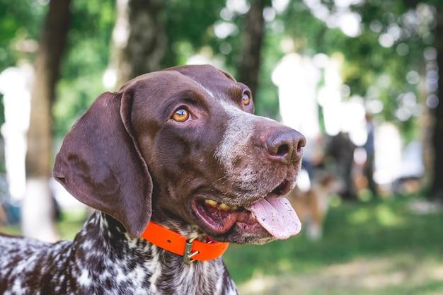 Ponteiro alemão de pêlo curto de raça de cão com um olhar adorável, close de um cão de raça_