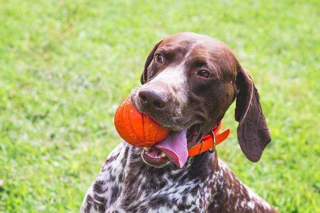 Ponteiro de pêlo curto alemão, kurtshaar alemão com uma bola vermelha na boca. close do retrato de um cachorro