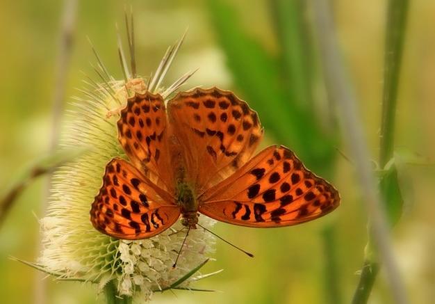 Pontos borboleta cardo insetos marrom verão