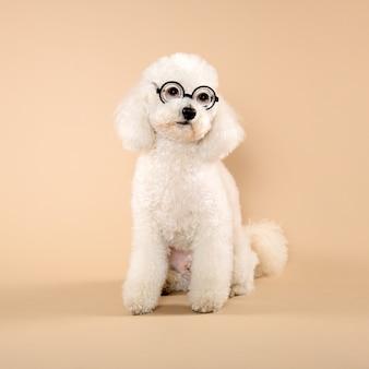 Poodle branco fofo adorável usando óculos