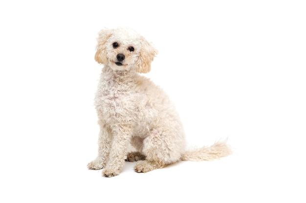 Poodle branco pequeno bonito