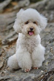 Poodle branco posando feliz olhando para a frente