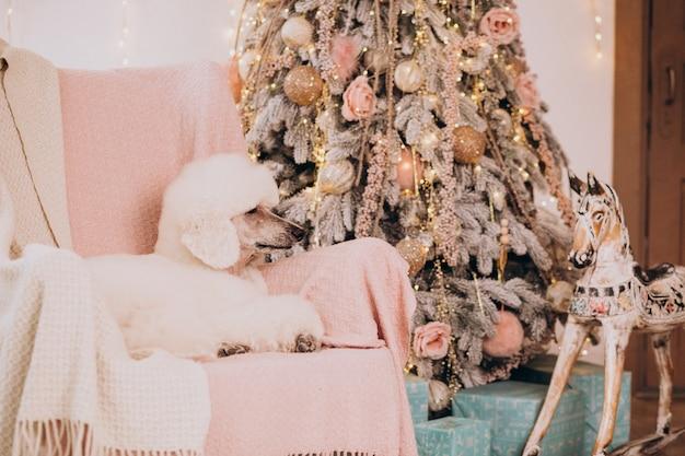 Poodle branco sentado perto da árvore de natal