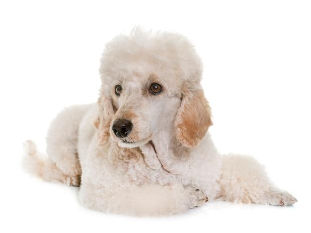 Poodle branco