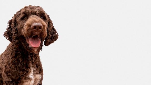 Poodle com língua de fora com cópia-espaço