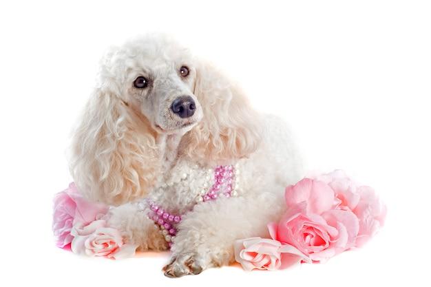Poodle com rosas em branco