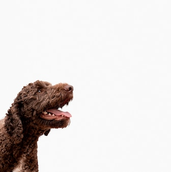 Poodle copiado com boca aberta
