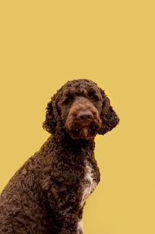 Poodle doméstico com vista lateral
