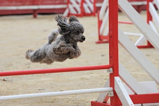 Poodle em competição de agilidade
