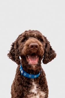 Poodle fofo com língua de fora