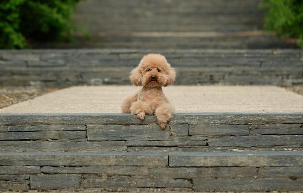 Poodle marrom deitado em uma escada antiga olhando para a frente