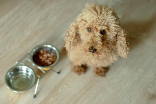 Poodle marrom olha para o quadro. ao lado do cachorro está uma tigela com água e comida.