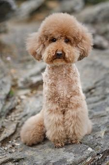 Poodle marrom posando feliz olhando para a frente
