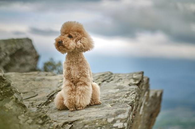 Poodle marrom sentado no topo de uma montanha