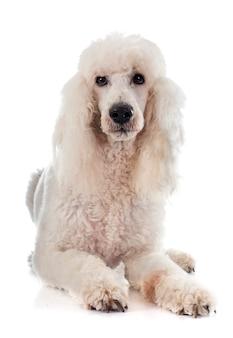Poodle padrão