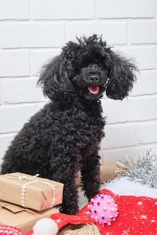 Poodle pequeno preto e presentes de natal fundo de parede de tijolo branco