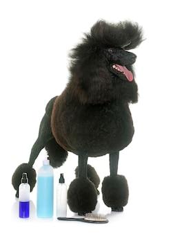 Poodle preto padrão e shampoo