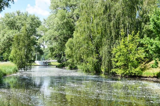 Poplar fluff de árvores na cidade voa pelo ar, flutua no rio e causa alergia em humanos