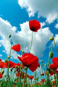 Poppys e céu