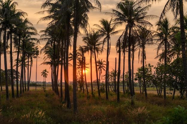 Pôr do sol colorido na plantação de cocos no campo