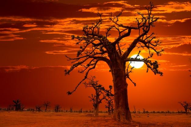 Por do sol de áfrica nas árvores do baobab coloridas