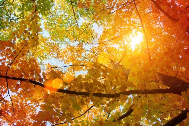 Pôr do sol e carvalhos. luz do sol através da folhagem da árvore. folhas amarelas, vermelhas, verdes na luz solar. folhas bonitas.