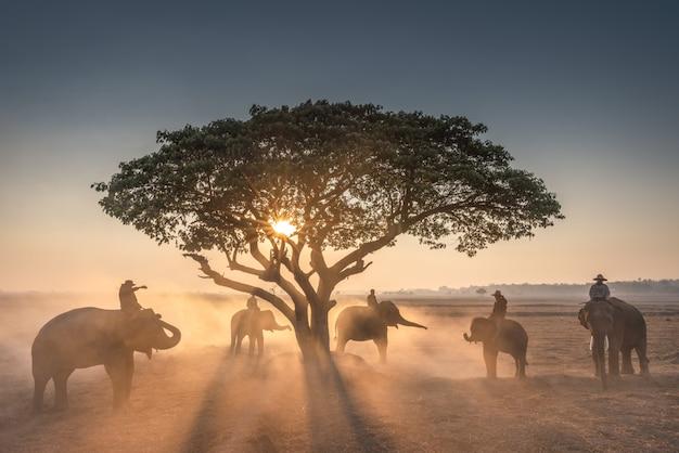 Pôr do sol e mahout com elefantes