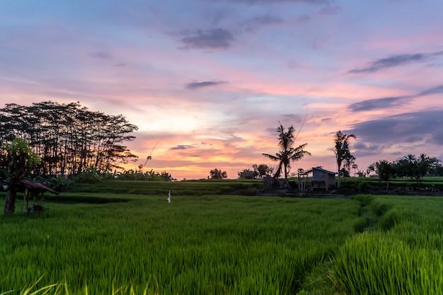 Pôr do sol em um campo de arroz com uma casa e árvores