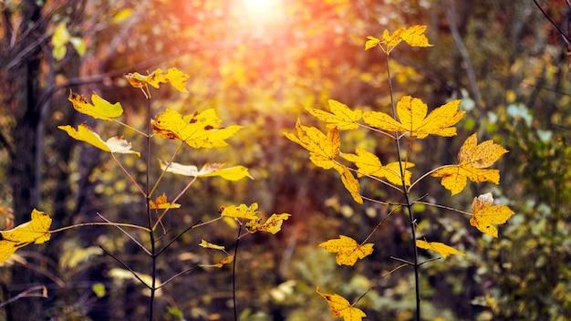 Pôr do sol na floresta densa de outono com folhas de bordo amarelas em galhos de árvores jovens