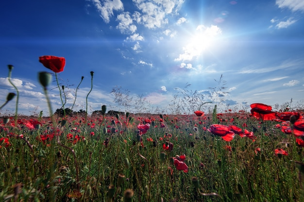 Pôr do sol sobre o campo com papoilas vermelhas