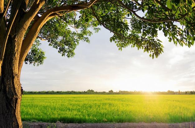 Pôr do sol sobre os campos de arroz