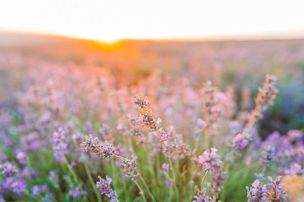 Pôr do sol sobre um campo de lavanda violeta ao ar livre