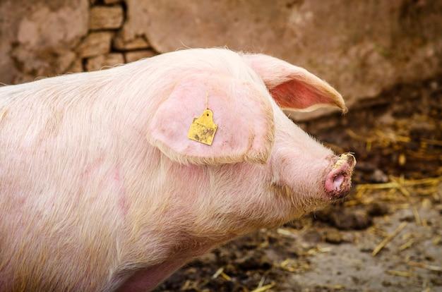 Porco animal doméstico na fazenda