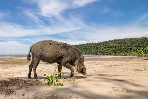 Porco barbudo de bornéu sus barbatus na praia