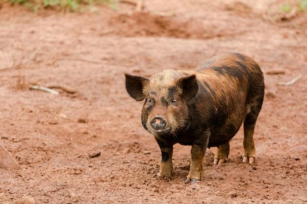 Porco caipira em um campo