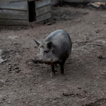 Porco de alto ângulo na fazenda