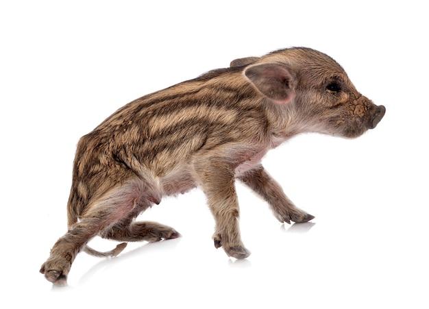 Porco em miniatura na frente de um fundo branco