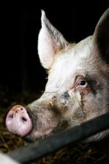 Porco em porcos de criação