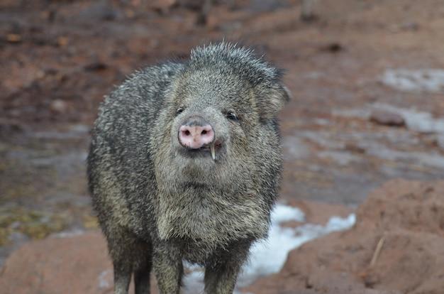 Porco grande javelina mostrando seus dois grandes dentes
