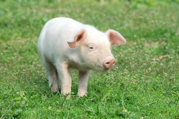 Porco jovem