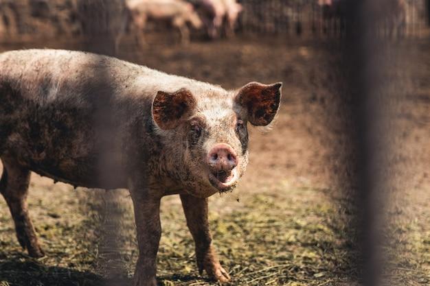 Porco na fazenda. condições ruins, animais de estimação