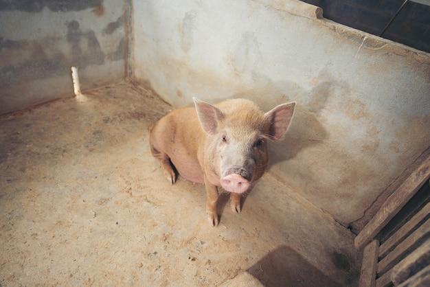 Porco na fazenda local