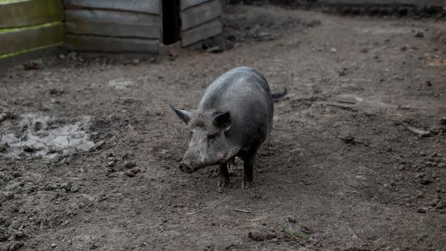Porco na fazenda