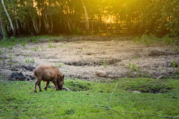 Porco pequeno selvagem pastando alegremente na grama